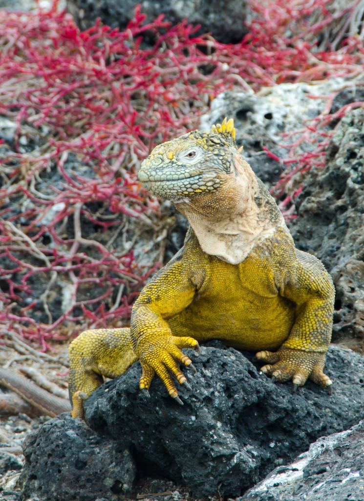 Luxury-Travel-Family-Nature-Tour-To-Ecuador-Galapagos-Islands-Cruise-Wildlife-Land-Iguana