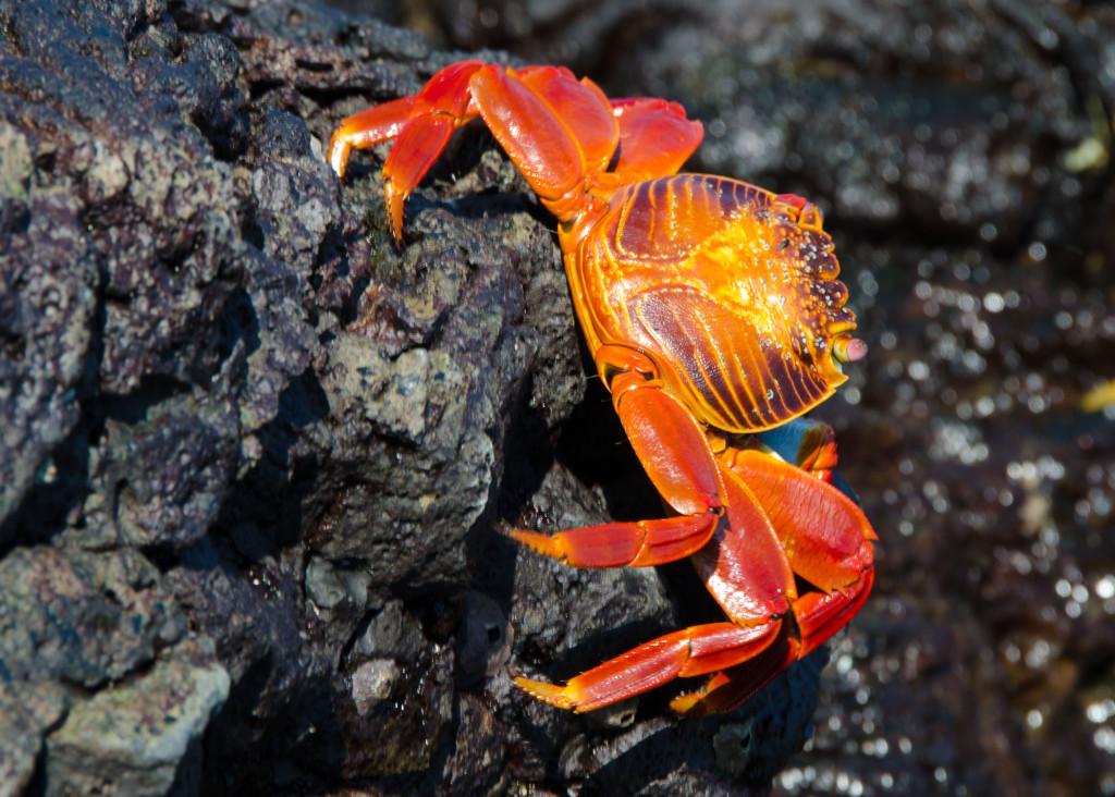 Luxury-Travel-Family-Nature-Tour-To-Ecuador-Galapagos-Islands-Cruise-Wildlife-Land-Crab