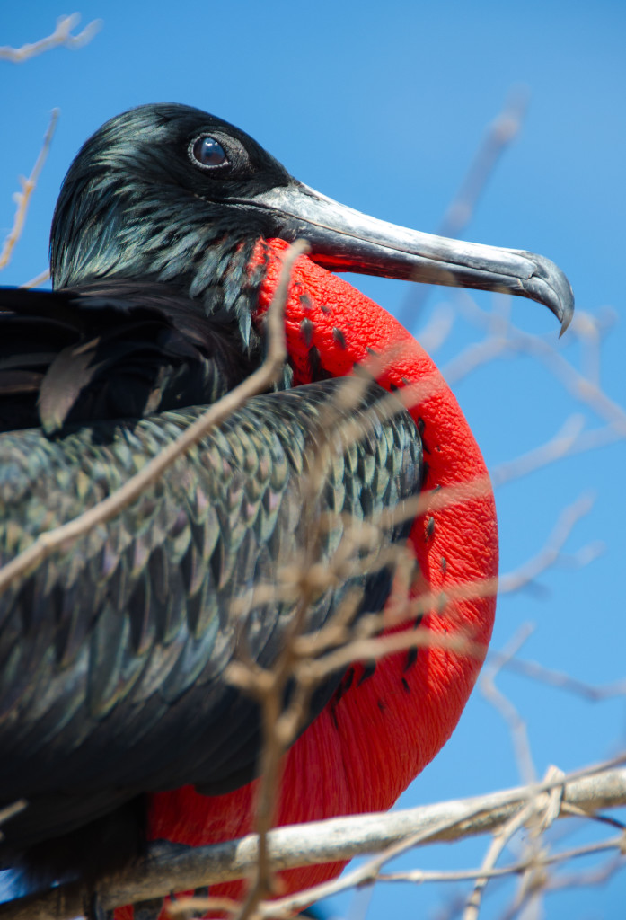 Luxury-Travel-Family-Nature-Tour-To-Ecuador-Galapagos-Islands-Cruise-Wildlife-Magnificent-Frigatebird