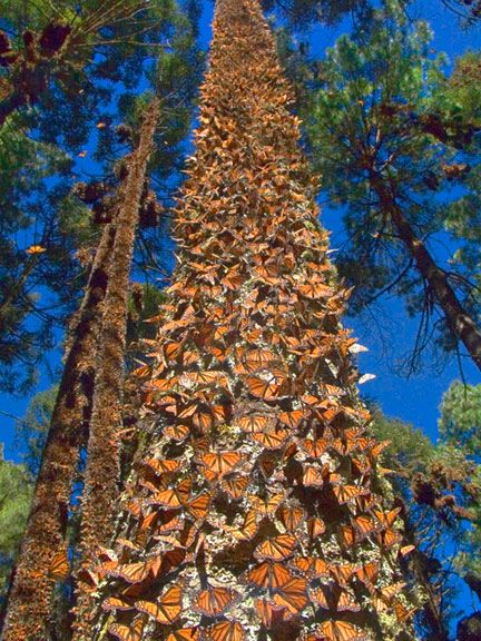 Monarch Butterflies cluster in numbers so great that their weight can bend or break tree branches