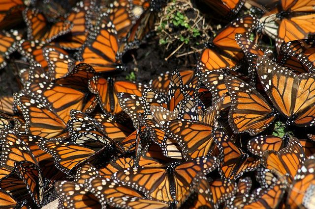Monarch Butterflies huddle together in clusters for warmth to survive the cold winter nights